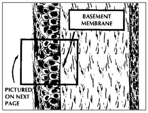 epithelium and basement membrane of cornea